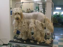 how to cut a goldendoodles hair venting about clients who haven t a clue poodle forum