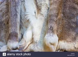 caribou fur displayed in inuit native american village along the