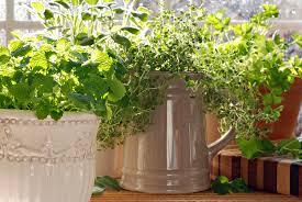 indoor herb gardening for the winter season