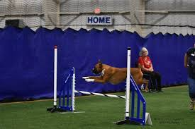 boxer dog shows 2016 dog shows u2013 more than just fancy dogs pro pet hero blog