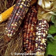 mays ornamental corn maize mealie