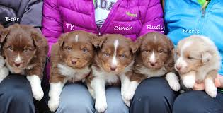 3 winds ranch australian shepherd two litters of purebred australian shepherd puppies for sale the