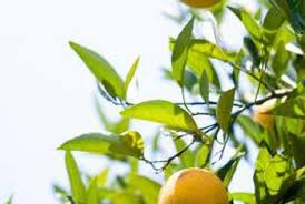 how to care for calamondin orange trees with yellow leaves home