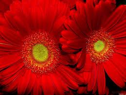 foto wallpaper bunga matahari merah bunga matahari hd wallpaper desktop layar lebar definisi