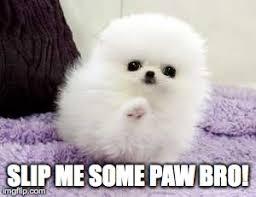 Pomeranian Meme - pomeranian imgflip