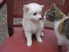 american eskimo dog varieties small short haired dog breeds that don u0027t shed puppies