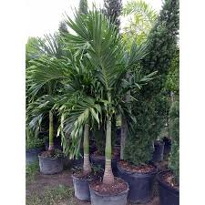 palm tree adonidia merrillii florida coconuts store