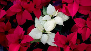 white poinsettia white poinsettias the home depot community