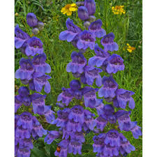 rocky mountain native plants penstemon strictus rocky mountain penstemon gardenpost