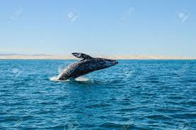 gray whale stock photos royalty free gray whale images and pictures