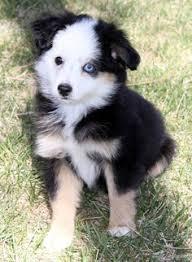 1 year old australian shepherd for sale miniature australian shepherd puppy for sale in forestburg tx