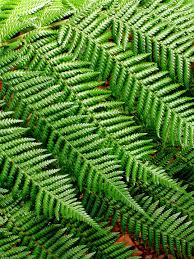 Free Picture Leaf Nature Fern Fern Background Pattern Leaves Free Photo On Pixabay