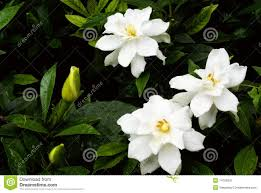 cape jasmine flower stock image image of fresh green 14706931