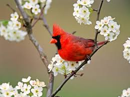 most beautiful birds in the world cardinals bird and beautiful