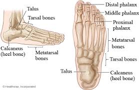 Anatomy Of The Calcaneus Bones Of The Foot