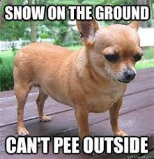 Funny Chihuahua Memes - 17403 best chihuahua images on pinterest chihuahua dogs doggies