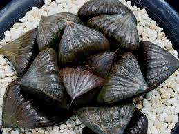 plats cuisin駸 多肉植物 ハオルチア スプレンデンス 黒アゲハ 親苗 haworthia