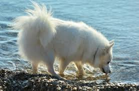 north american eskimo dog association which medium sized breed is just right for you pawculture