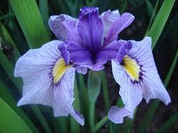 Iris by Draycott Gardens Beardless Irises From Carol Warner