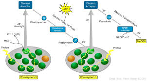 What Happens During The Light Reactions Of Photosynthesis Energy Iv Photosynthesis Light Reactions Biol 110