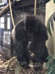 zoo gorilla scare ape escapes enclosure in london fox13now com