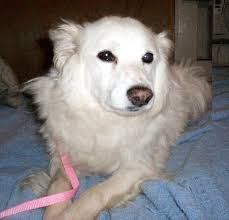 american eskimo dog rescue michigan white shadow u0027s web page