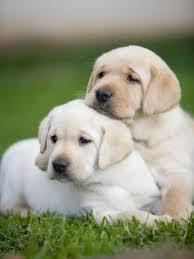 13 reasons labradors dangerous pets