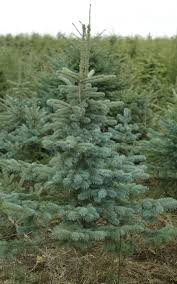 what is the best real tree where can i buy them and how