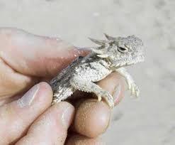 Seeking Lizard Review Local Lizard May Be Named An Endangered Species Agenda 21 News