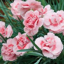 dianthus flower dianthus doris plants thompson