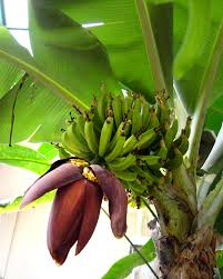 banana tree with flower and fruit pics4learning