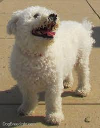 bichon frise names male bichon frise dog breed pictures 1