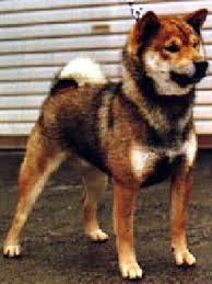 u201csesame u201d nihon ken forum 日本犬コミュニティ