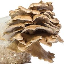 amazon com oyster mushroom growing kit premium edition