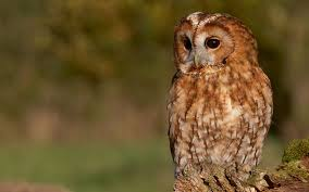 tawny owl bird pictures images hd pics free download