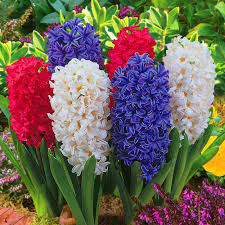 Hyacinth Flower Hyacinth Mixed Colours Indoor Outdoor Spring Flowering Orientalis