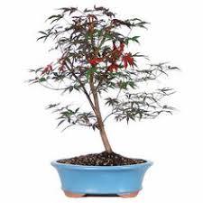 fringe flower bonsai tree bonsai bonsai tree care and tree care
