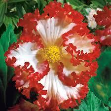 hardy begonia at thompson morgan