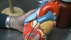 Lab Practical Anatomy And Physiology Anatomy U0026 Physiology Lab Practical Study Guides Youtube