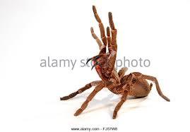tarantula spider crawling closeup stock photos u0026 tarantula spider