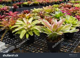 picture bromeliads that popular ornamental plants stock photo