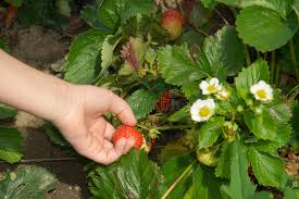 Strawberry Garden Beds Hand Picking Up Strawberry On Garden Bed Stock Photography Image
