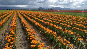 Tulip Field Tulip Festival In The Skagit Valley Garden Destinations Magazine