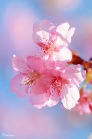 cherry flowers wallpapers flir de cerezo flowers pinterest flowers flower and wallpaper