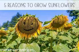 how to grow u0026 use nasturtiums the micro gardener