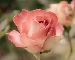 flowers peals bloom rose beautiful flower wallpaper for mobile hd