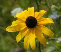 native plants to maryland rudbeckia hirta wikipedia