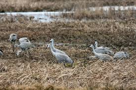 game commission again requests help with sandhill crane survey