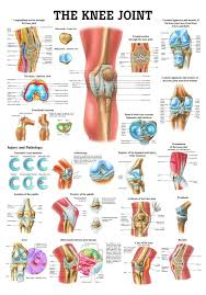 Back Knee Anatomy Best 25 Knee Joint Anatomy Ideas On Pinterest Knee