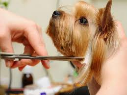 explore more about how to trim a yorkshire terrier s face